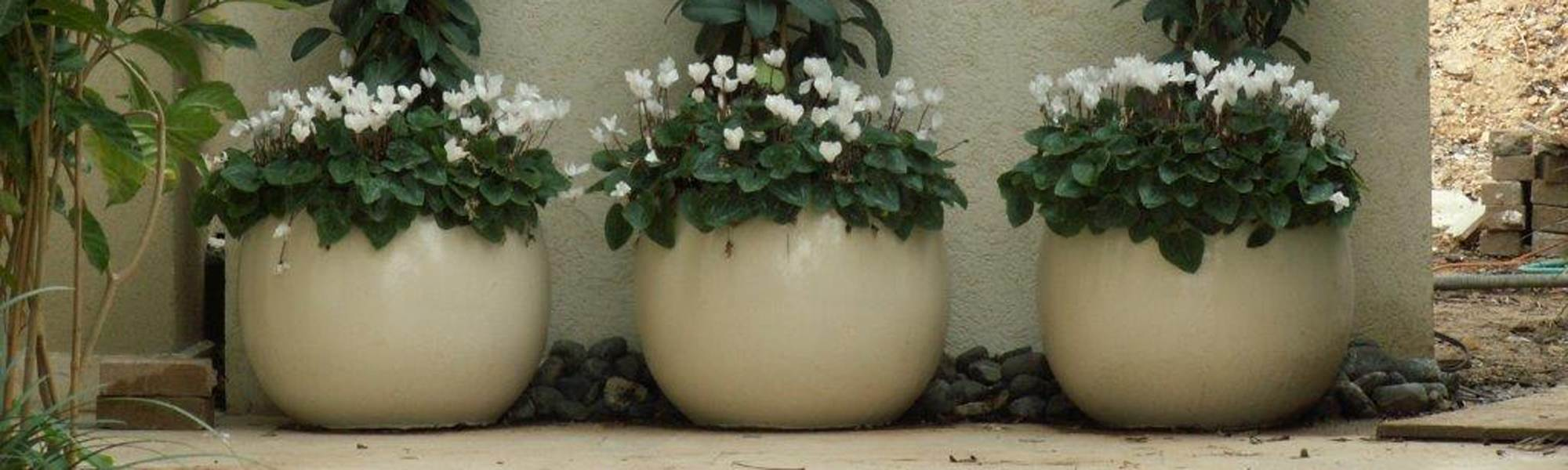 שלושה כדים עגולים עם שיחים ופרחים לבנים