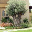 גינת בכניסה לבית פרטי עם עץ זית