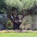 עת זית עתיק בגינה גדולה של בית פרטי