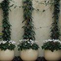 שלושה כדים עגולים עם צמחייה מטפסת ופרחים לבנים