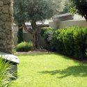 גינת מעוצבת עם עצי זית